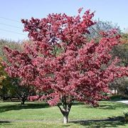 Pianta da giardino di Cornus florida
