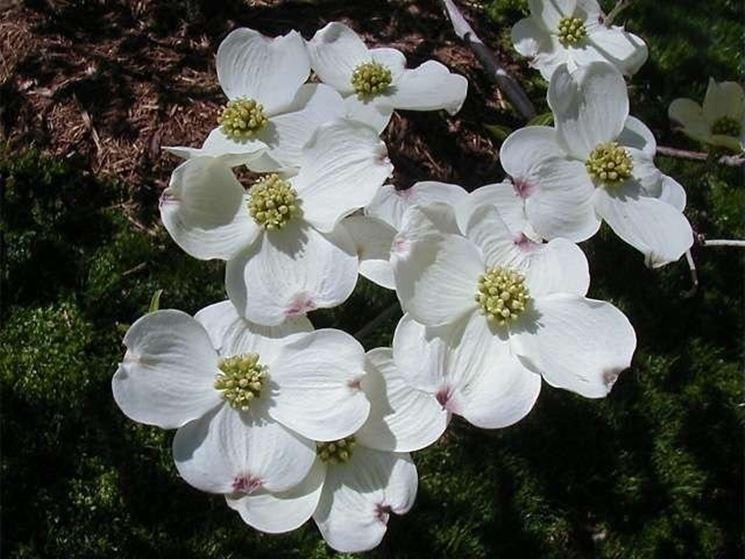 Fiori della pianta di Cornus florida