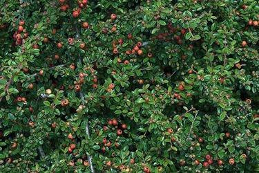 Pianta di cotonaster piena di frutti rossi