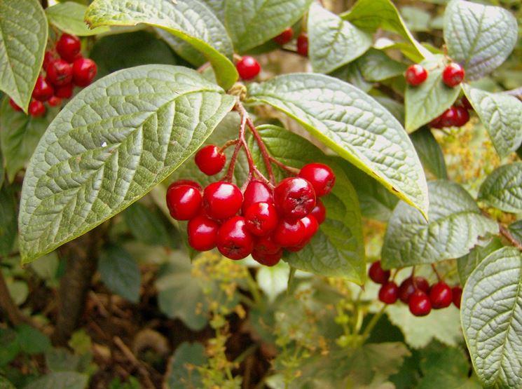 I frutti della pianta di cotonaster
