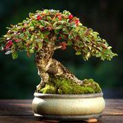 Un esempio di bonsai di cotoneaster