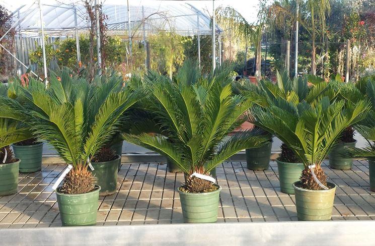 Giovani piante di cycas coltivate in vaso