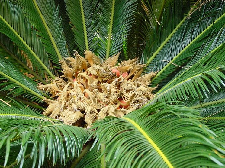 Semi della Cycas pianta