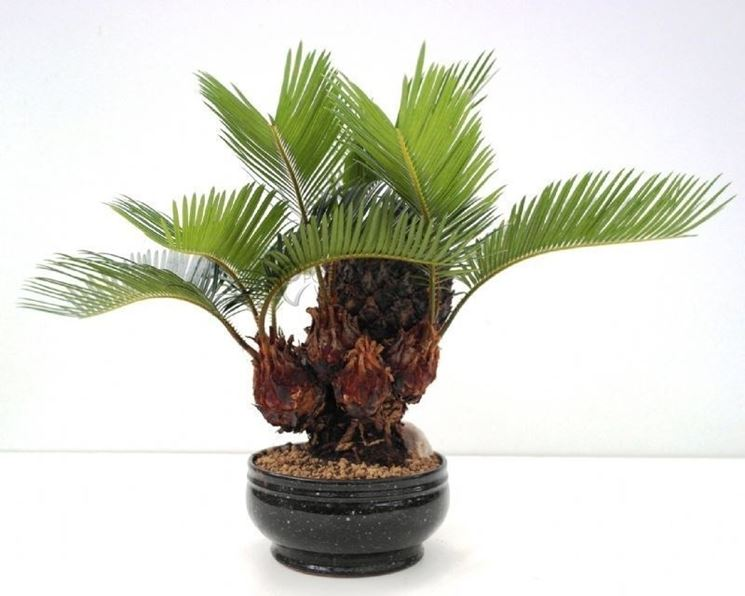 Bonsai di Cycas