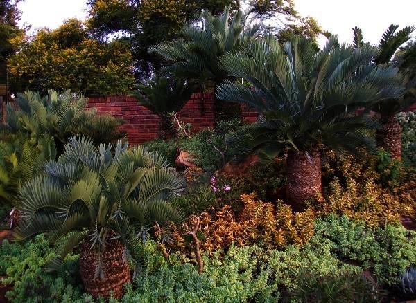 Cycas piante da giardino for Piante da giardino tropicali