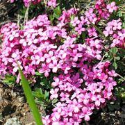 Fiori di dafne di colore rosa
