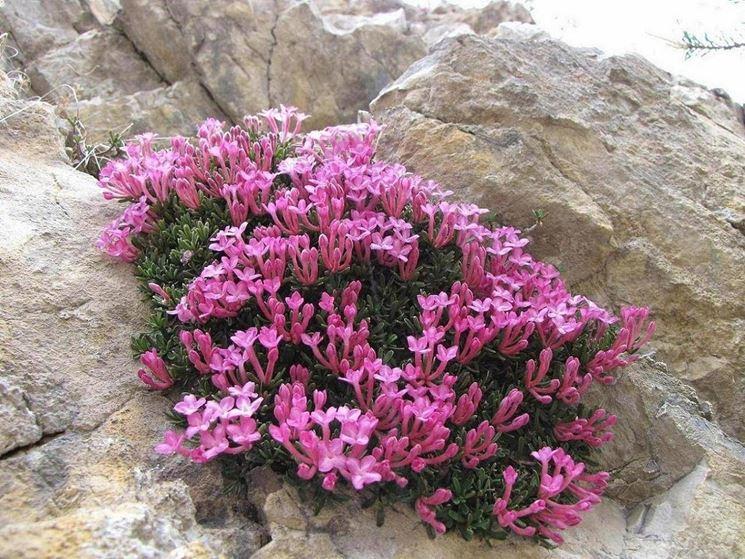 Una pianta di dafne cresciuta tra le rocce
