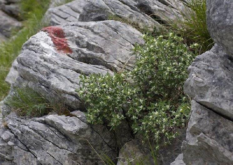 Un esemplare di dafne alpina tipica delle zone montane