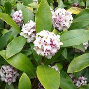 Fogliame e fiori di Daphne odora