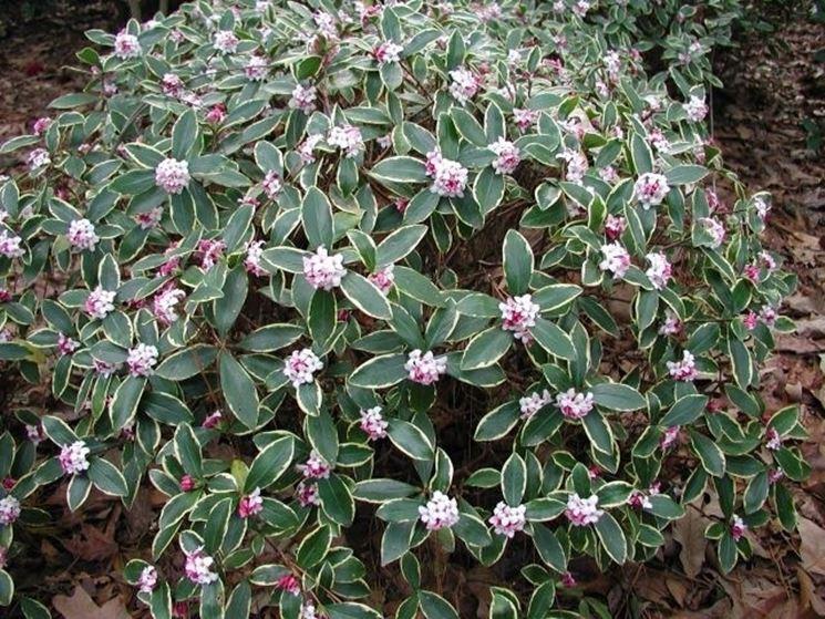 Cespuglio in fiore di Daphne odora