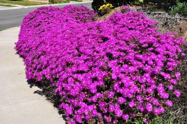 Drosanthemum hispidum piante da giardino drosanthemum for Piante da cespuglio