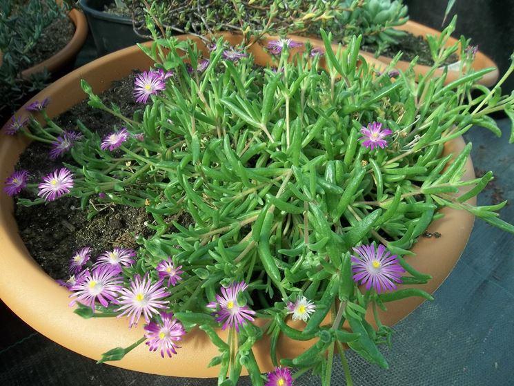 Giovane Drosanthemum coltivata in vaso