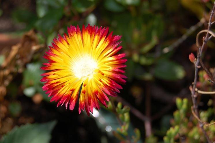 Fiore di Drosanthemum bicolor