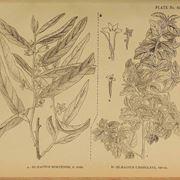 Illustrazioni botaniche di Elaeagnus