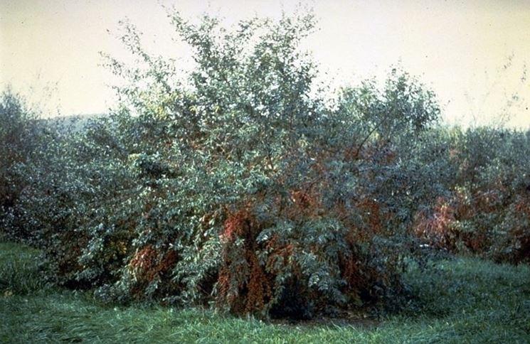 Un cespuglio di Elaeagnus umbrellata