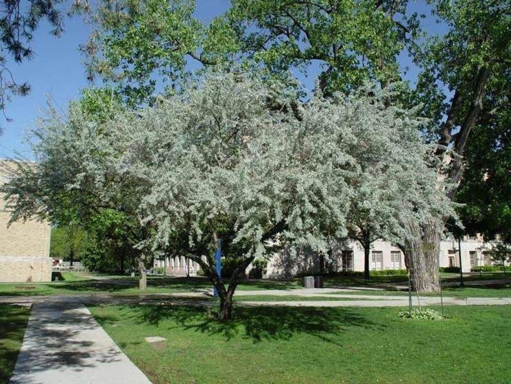 Un albero di Elaeagnus angustifolia