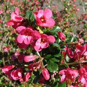 Infiorescenze rosa di Escallonia Pride of Donard