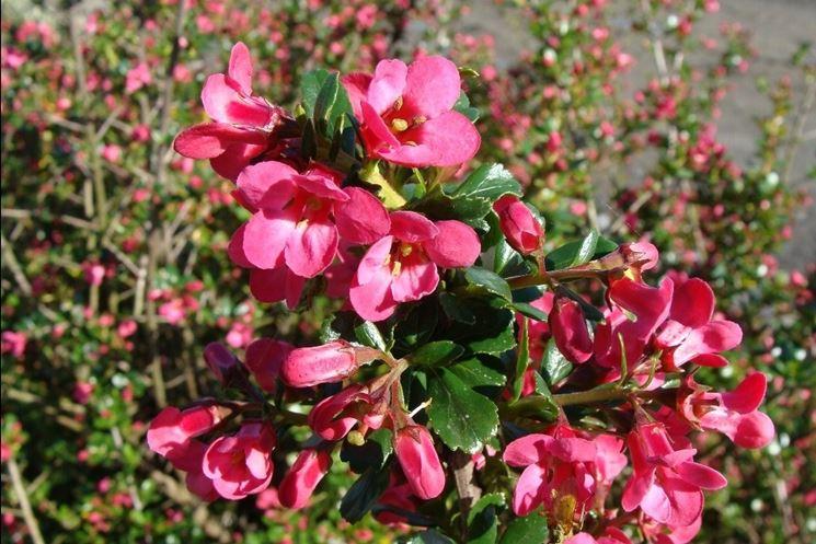 Infiorescenze rosa di Escallonia Pride of Donard