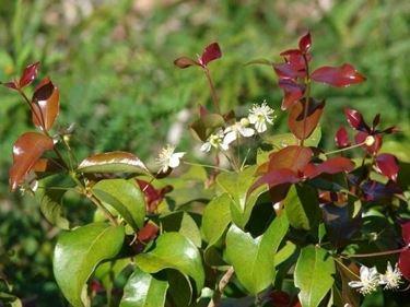 Una pianta di eugenia fiorita