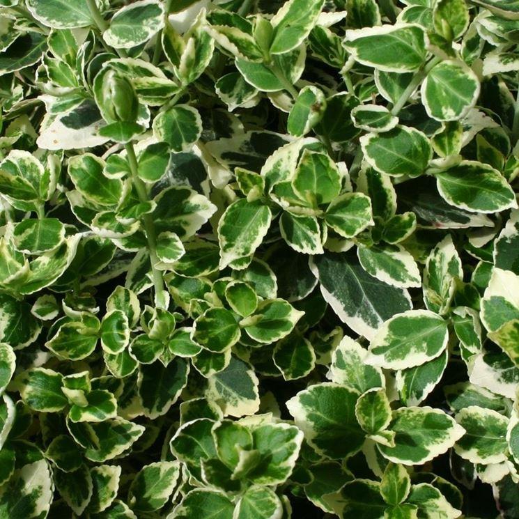 Fogliame della pianta di Euonymus fortunei