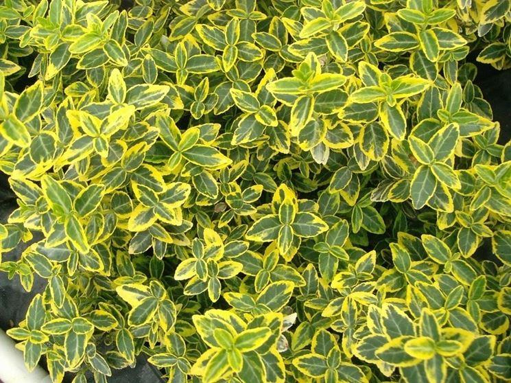 Foglie variegate di Euonymus japonica
