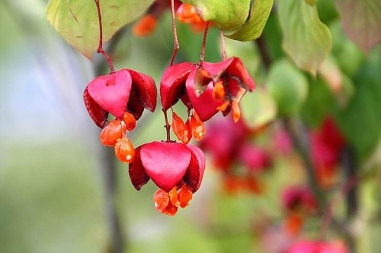 Frutti della pianta Euonymus europaeus