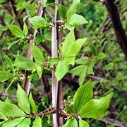 euonymus variegato