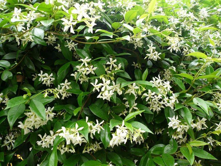 Foglie e fiori di finto Gelsomino