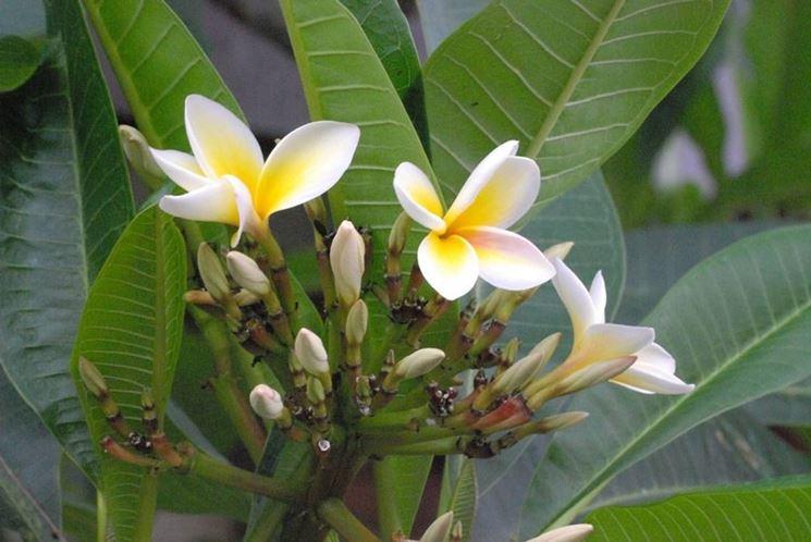 Fiore del frangipane visto da vicino