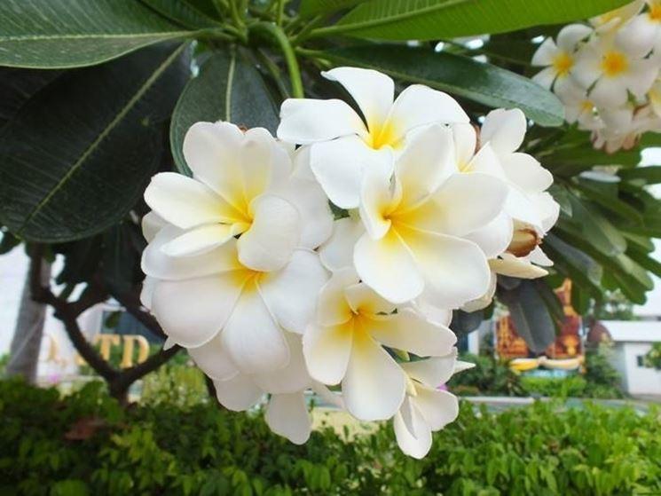 Pianta del fiore frangipane
