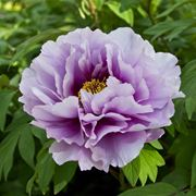 Un fiore di peonia di color violetto