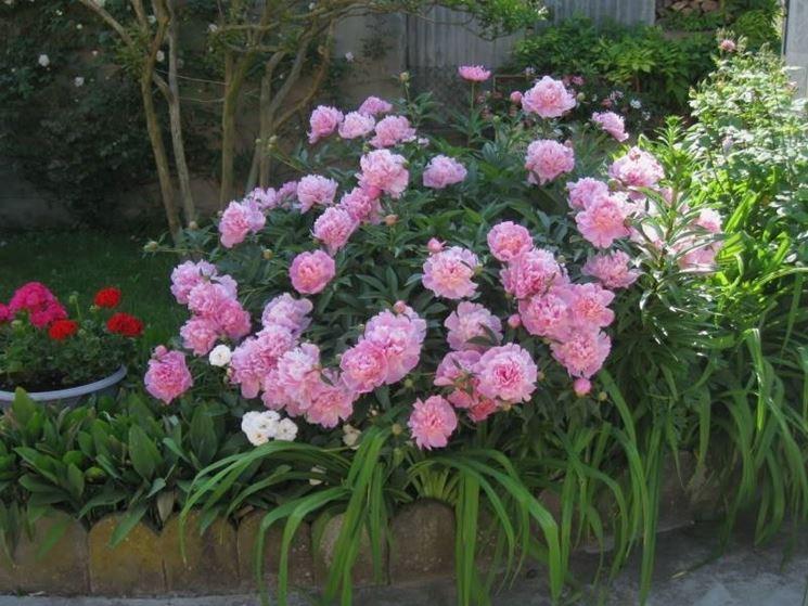 Una bella pianta di peonia dai fiori rosa