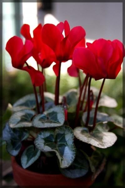 Fiori giardino piante da giardino fiori per il giardino - Grossi fiori da giardino ...