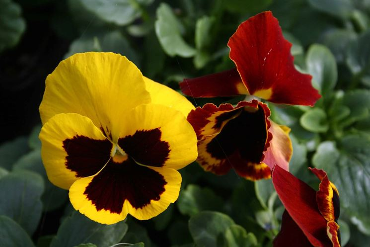 Fiori invernali da balcone - Piante da giardino - Fiori sul balcone anche in ...