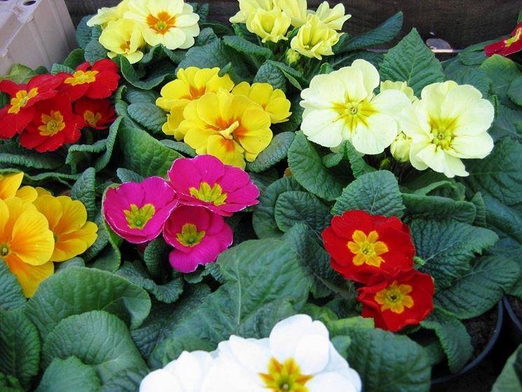 Fiori invernali da balcone - Piante da giardino - Fiori sul balcone anche in inverno