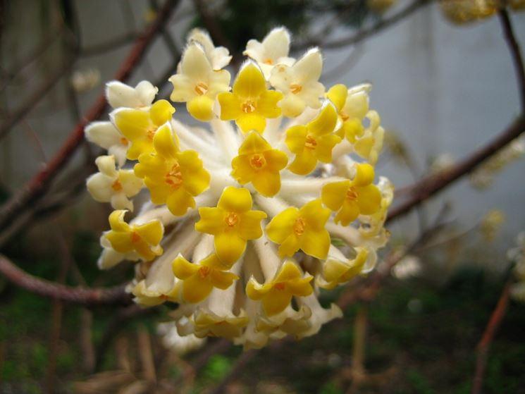 Tipica fioritura di una Edgeworthia