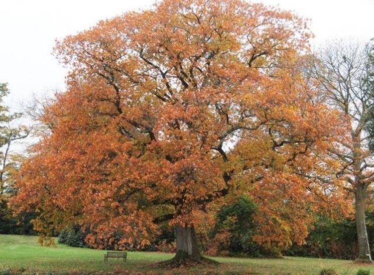 Una Quercus Rubra