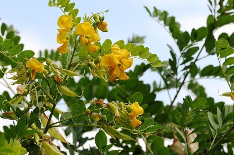 Foglie e fiori di Colutea