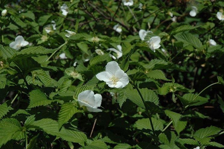 Foglie e fiori di Rhodotypos