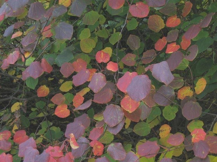 Foglie rossastre di Disanthus