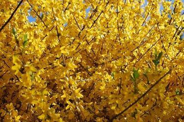 Una forsythia in fiore
