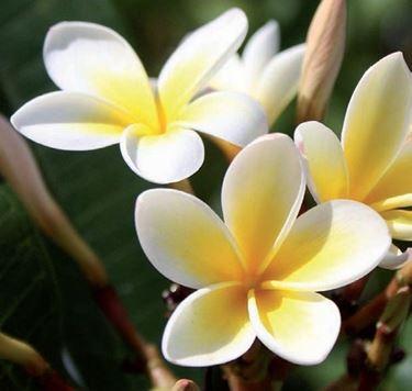 Un esempio di ghirlanda fatta con i fiori di frangipane