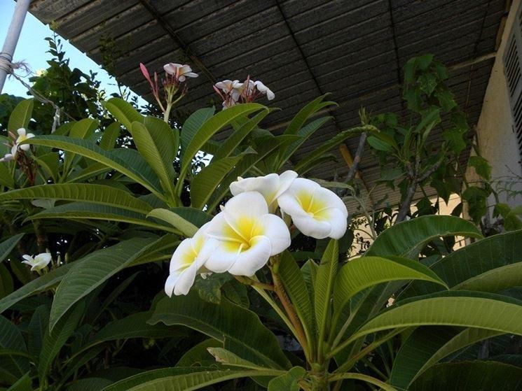 Una pianta fiorita di frangipane