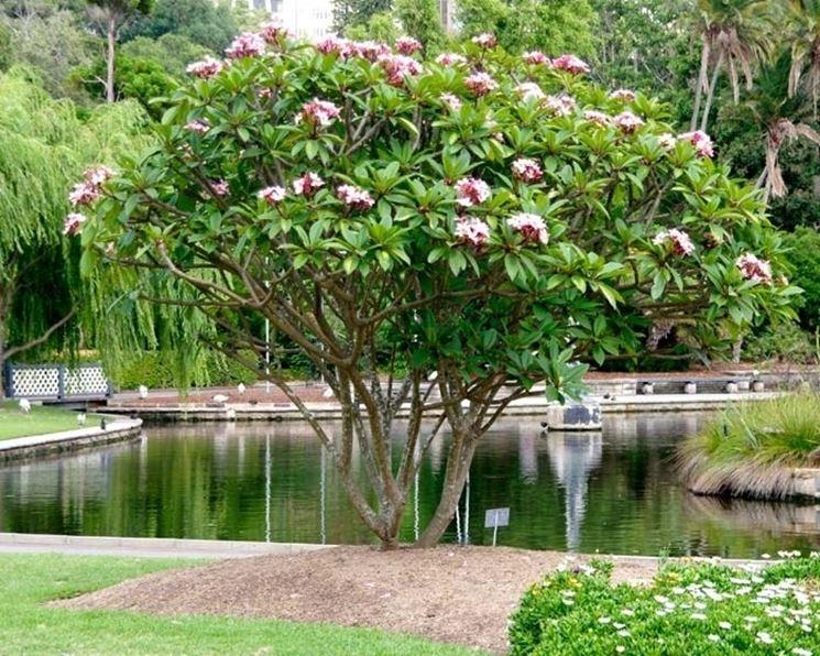frangipane fiore piante da giardino fiore frangipane