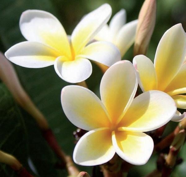 Superiore Fiori Di Giardino Foto #2: Frangipane-fiore_O4.jpg