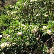 Una pianta frangipane dai fiori bianchi