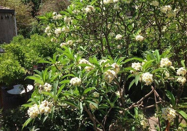 Frangipane pianta piante da giardino caratteristiche for Piante da cespuglio