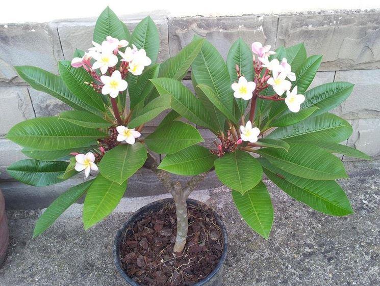 Un esemplare di frangipane coltivato in vaso