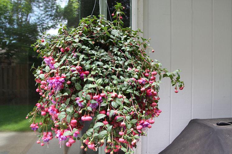 Un esemplare di fucsia coltivato in un vaso sospeso
