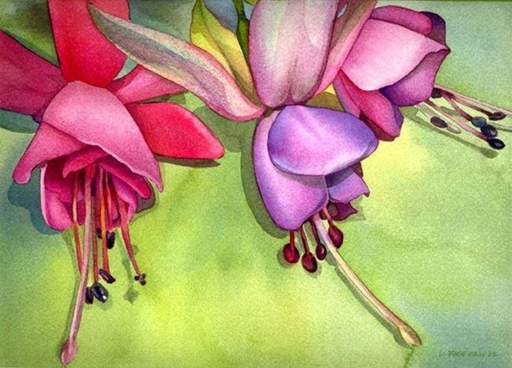 la fucsia il fiore bicolore